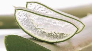 aloe-vera-scheiben-im-querschnitt-großaufnahme