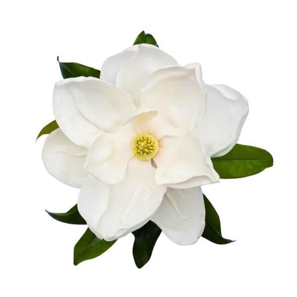 weiße-magnolienblüte-mit-gruenen-blaettern-highdroxy-wirkstoff-magnolienextrakt