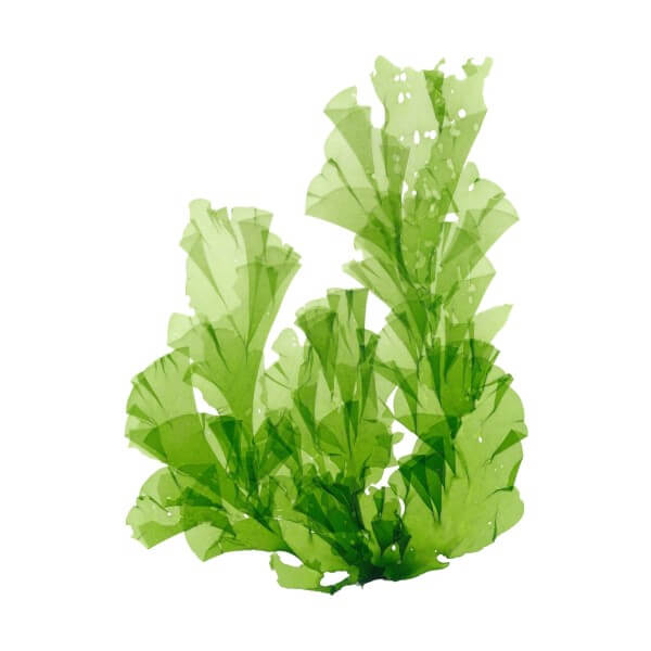 green-alg-on-white-background-highdroxy-drug-wakame